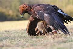 Golden Eagle with prey. A female Golden Eagle with prey stock images