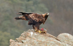 Golden eagle prey is eaten Royalty Free Stock Image