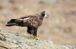Golden eagle with prey in its beak Stock Image