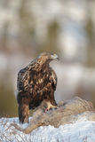 Golden eagle with prey in Norway Royalty Free Stock Photography