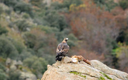 Golden eagle with prey notes. A golden eagle with prey notes Stock Photo