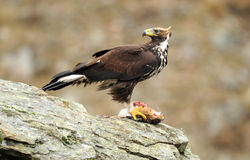 Golden eagle with prey Stock Photography