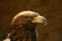 Golden eagle profile Stock Photo