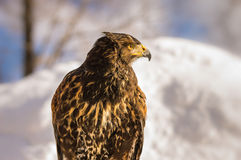 Golden Eagle Profile. Looking sideways. Winter in Japan Stock Photo