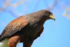 Golden eagle reading to attack. Details of an golden eagle reading to attack Stock Images