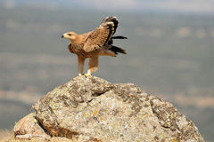 Golden eagle resting on the rock in the field Stock Images
