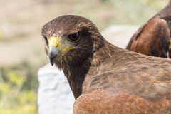 Golden eagle resting in the sun with open beak Royalty Free Stock Image