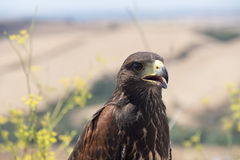 Golden eagle resting in the sun with open mouth Royalty Free Stock Photography