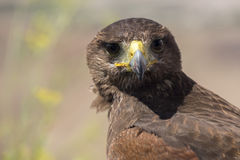 Golden eagle resting in the sun with open mouth Stock Image
