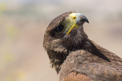 Golden eagle resting in the sun with open mouth Stock Photo