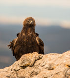 Golden Eagle on a rock Stock Photography