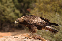 Golden eagle on the rocks. Male of golden eagle eating an hare on the rock Stock Photography
