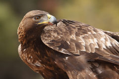 Golden eagle on the rocks. Male of golden eagle eating an hare on the rock Royalty Free Stock Photo