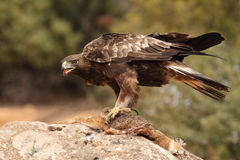 Golden eagle on the rocks. Male of golden eagle eating an hare on the rock Stock Photos