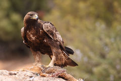 Golden eagle on the rocks. Male of golden eagle eating an hare on the rock Royalty Free Stock Images