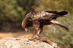 Golden eagle on the rocks. Male of golden eagle eating an hare on the rock Royalty Free Stock Image