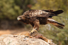 Golden eagle on the rocks. Male of golden eagle eating an hare on the rock Royalty Free Stock Photos