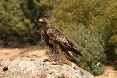 Golden eagle on the rocks Stock Photos