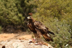 Golden eagle on the rocks Royalty Free Stock Image