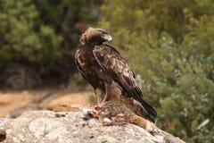 Golden eagle on the rocks Stock Image