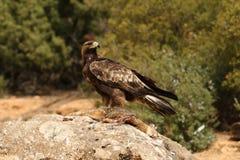 Golden eagle on the rocks Royalty Free Stock Photos