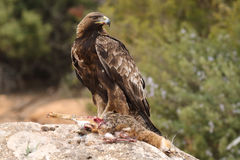 Golden eagle on the rocks Stock Photography