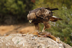 Golden eagle on the rocks Royalty Free Stock Photography