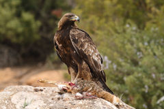 Golden eagle on the rocks Stock Images