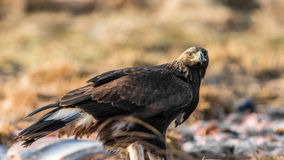 Golden Eagle`s Glance. Golden Eagle`s Aquila chrysaetos glance on you and profile showing the wings of the first winter plumage with a defocused background Royalty Free Stock Image