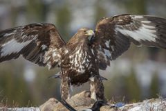 Golden eagle. A golden eagle scavenges from a roe deer carcass Royalty Free Stock Image