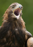 Golden Eagle - Scotland royalty free stock image