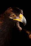 Golden Eagle Stock Image