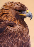 Golden Eagle Side Portrait. Golden Eagle portrait taken from the side against a plain tan background Royalty Free Stock Photo