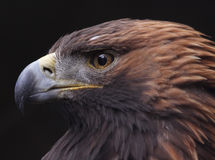 Golden Eagle Side View Royalty Free Stock Images