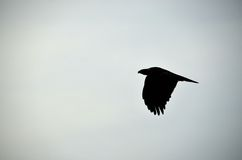 Golden Eagle Silhouette. A golden eagle takes off in powerful fashion over Central Wyoming Stock Photos