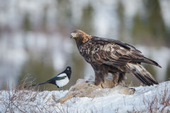 Golden eagle sits upon a roe deer carcass Stock Images