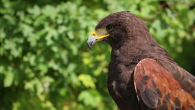 Golden eagle sitting on a branch and looking around stock footage