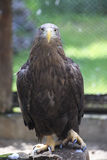 Golden eagle sitting on a log. Royalty Free Stock Photo