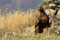 Golden Eagle Sitting On The Ground Royalty Free Stock Photos