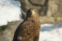 Golden eagle on snow. Golden eagle on the snow looks at us Royalty Free Stock Images