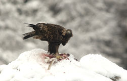Golden eagle in the snow Royalty Free Stock Photo