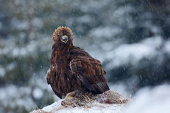 Golden Eagle in snow with kill hare, snow in the forest during winter Stock Photos