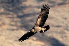 Golden Eagle soaring (Aquila chrysaetos), Oregon, Emigrant Lake, Stock Image