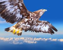 Golden eagle soaring Stock Photography