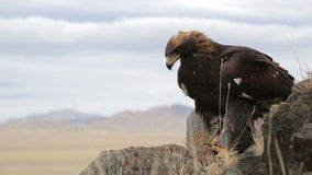 Golden eagle soars