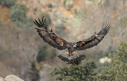 Golden eagle with spread wings landing Stock Image
