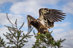 Golden eagle with spread wings. On the sky background Royalty Free Stock Images