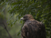 Golden Eagle standing one overcast day Royalty Free Stock Photography