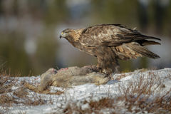 Golden eagle standing over a roe deer Stock Photos