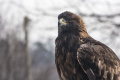 Golden eagle staring. At the camera Stock Image